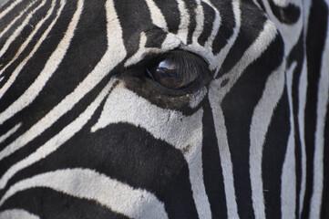 Closeup of the eye of a zebra