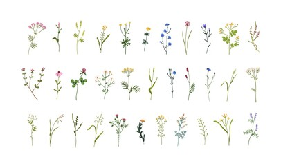 Set of field and meadow wild flowers. Botanical design elements of blooming wildflowers with leaves. Floral clip art sprigs. Decorative herb plants. Colored flat vector illustration isolated on white