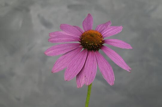 Echinacea oder auch Purpurfarbener Sonnenhut aus dem Garten
