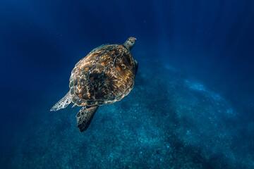 Sea turtle glides in deep ocean. Green sea turtle underwater