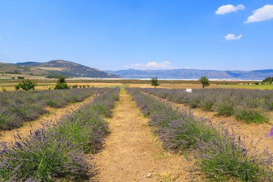 Lavender field near lake Salda in Burdur, Turkey