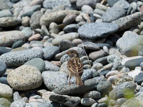 Common linnet on stones on coast