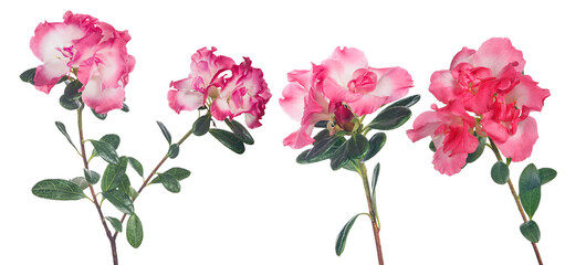 azalea drie takken met roze bloemen op wit