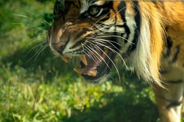 czający się groźny tygrys