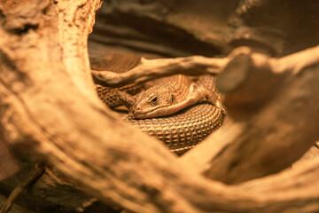 Jaszczurka w zbliżeniu