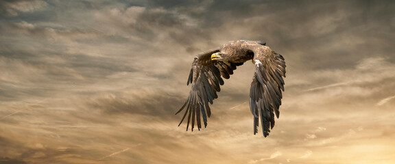 European sea eagle flying in an impressive yellow gold sky with. Bird of prey in flight. Flying birds of prey during a hunt. Social media, web banner of cover