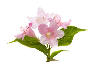 azalea bloem geïsoleerd