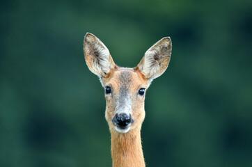 Close up of wild female roe deer