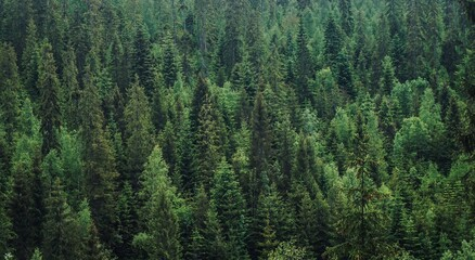 Obraz High Angle View Of Pine Trees In Forest - fototapety do salonu