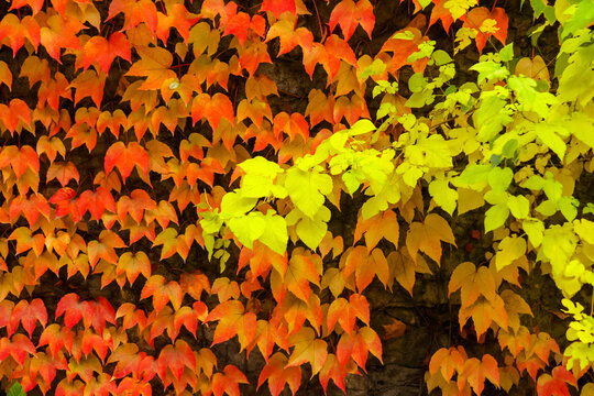 autumnal background with colorful foliage of ivy plant on the stone wall. seasonal beauty in nature