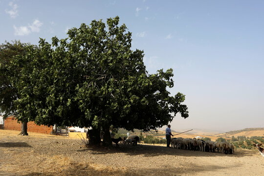 A shepherd herds goats and sheep as they gather in the shade of a tree to avoid the sun, as the summer's first heatwave hits Spain, in Cuevas del Becerro