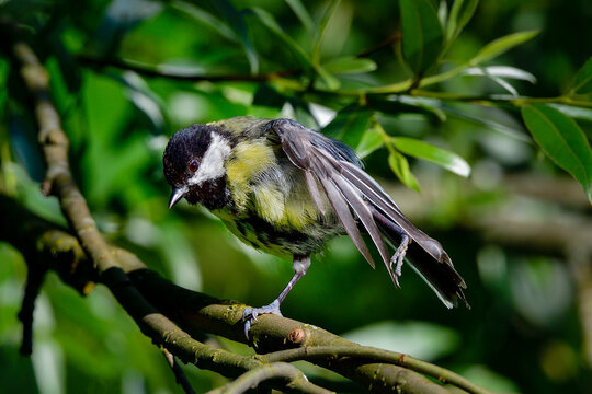 Great tit, my friendly backyard neighbor. Stretching is an important part of birds life.