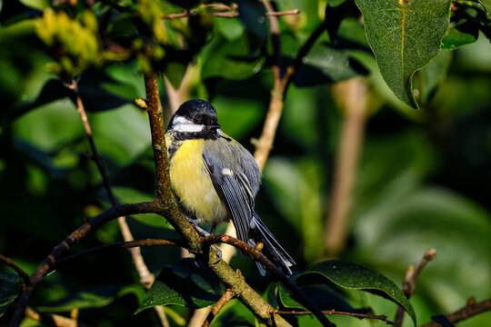 Great tit, warming up in morning sunlight.