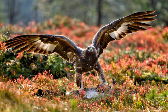 Golden eagle with the lunch
