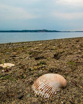 A seashell on a sandy Puget Sound beach