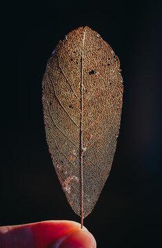 Close up of a backlit decayed leaf skeleton.