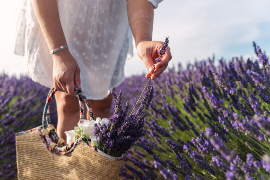 Unrecognizable woman collecting lavender flowers in a basket.