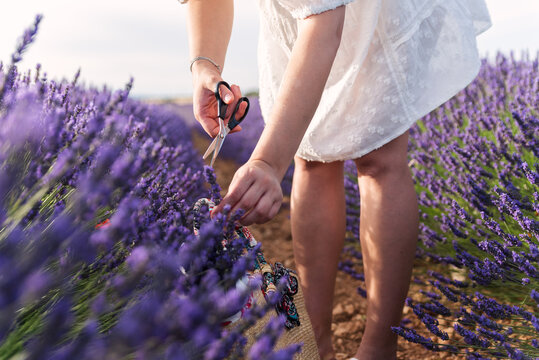 Unrecognizable woman cutting lavender flowers with scissors