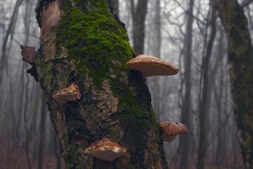 Fototapeta huba na drzewie obraz