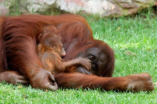 An eleven-day-old baby male Bornean orangutan is held by his mother Suli at Bioparc Fuengirola in Fuengirola