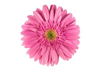 Colorful Gerbera Daisy flower