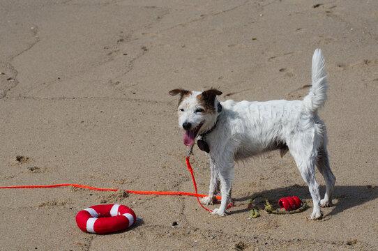Jack mit seinem Spielzeug am Hundestrand auf Sylt.