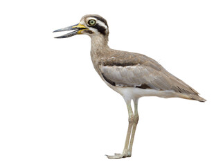Great stone curlew (Esacus recurvirostris) ugly brown thick-knee with big eyes and large bills wader bird