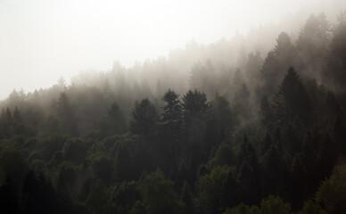Obraz Krajobraz leśny wierzchołki drzew las we mgle panorama  - fototapety do salonu