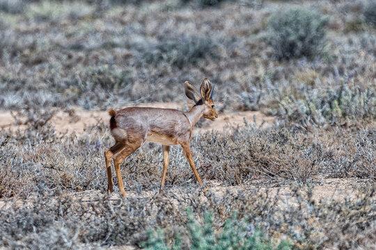 Steenbok on a farm near Beaufort West