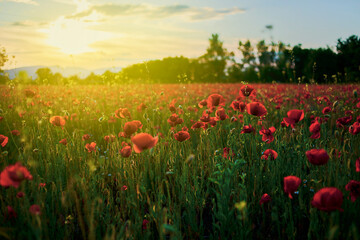 Red poppy fields at sunset, a garden full of red poppies at sunset