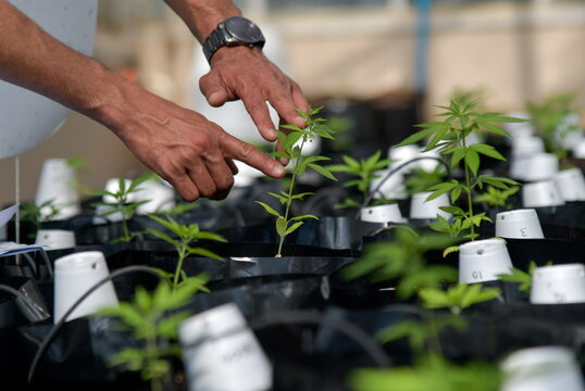 Cannabis firms eye opportunity in Brazil