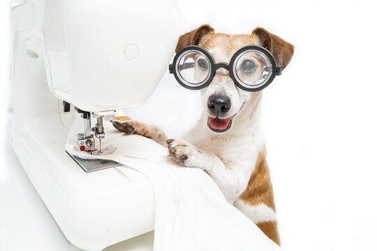 Adorable dog in glasses Jack Russell terrier looking at camera smiling works sewing machine sews white t-shirt. Fashion designer tailor in light white workshop. Funny pet producing clothes. Horizontal