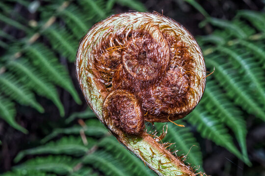 Unfolding leaf of a fern in the Helderberg Nature Reserve