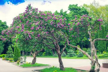 Obraz Lilac trees blooming in Taras Shevchenko public park in Rivne, Ukraine - fototapety do salonu