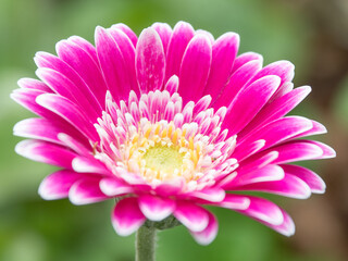 A pink gerbera daisy with a yellow center and white petal tips.