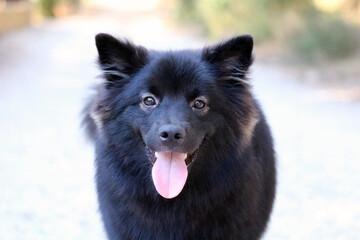 chien finnois de Laponie