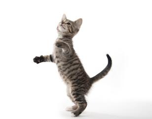 Obraz Cute tabby kitten on white - fototapety do salonu