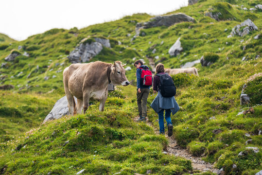 Hikers passing by a swiss cow on the top of a mountain in the Swiss alps