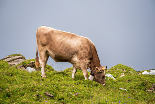 brown cow in the swiss alps with a traditional bell, eating grass on the peak of a mountain