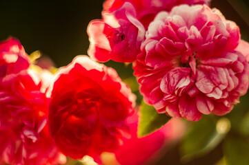 Fototapeta czerwone róże na rozmytym tle w ogrodzie obraz