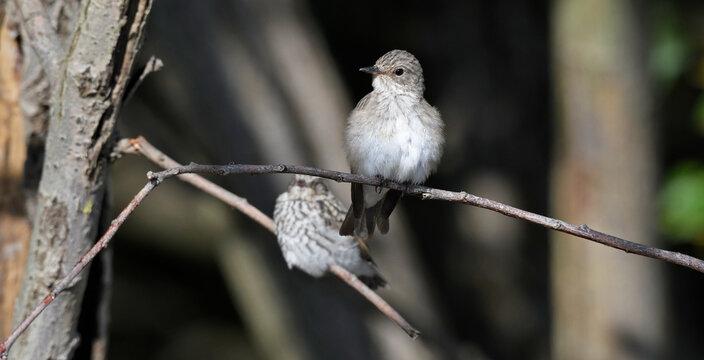 Grauschnäpper mit Jungvogel // Spotted flycatcher with young bird (Muscicapa striata)