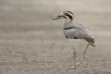 lovely brown bird on single feet standing over clean open land, great thick-knee