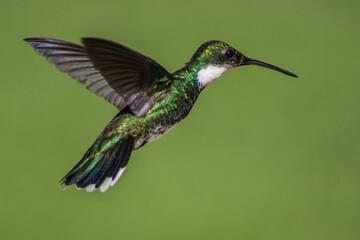 Obraz colibri - fototapety do salonu
