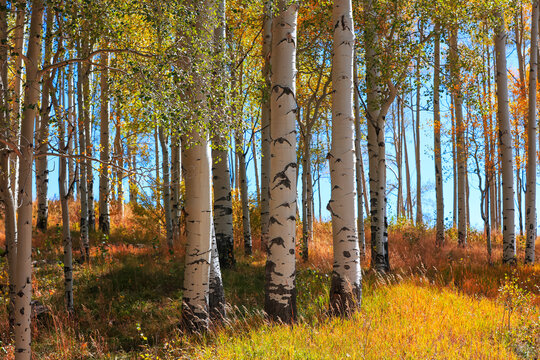 Aspen trees with fall foliage in San Juan mountains of Colorado