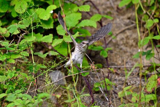 Grauschnäpper // Spotted flycatcher (Muscicapa striata)