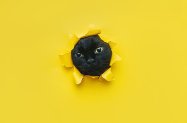 Obraz A funny black cat squeezes in and looks through a hole in yellow paper.Naughty pets and mischievous domestic animals. Peekaboo. Copy space. - fototapety do salonu