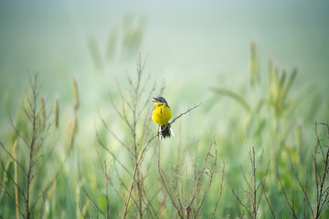 Yellow wagtail in wildlife