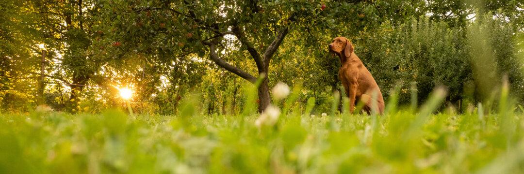 Beautiful hungarian vizsla dog garden portrait. Vizsla hunting dog sitting in the garden during summer sunset. Side view banner.