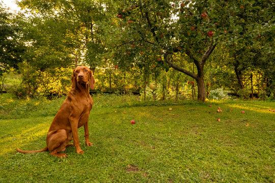Beautiful hungarian vizsla dog garden portrait. Vizsla hunting dog sitting in the garden during summer sunset. Side view.