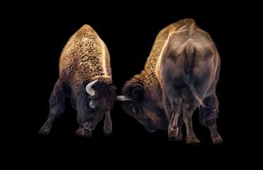 Twee Amerikaanse bizons vechten geïsoleerd op zwarte achtergrond. Buffalo kopstoten close-up.